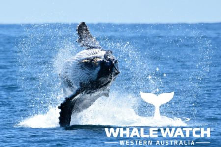 Whale_Watch_Western_Australia